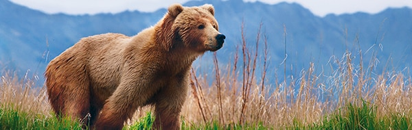 Brown bear in                                                        Juneau, Alaska